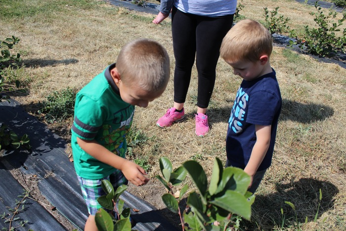 Preschool students had the opportunity to visit Good Berry Farms.  They had a great time picking and eating aronia berries.  Thank you, Leah Fote ,for allowing us to experience this new adventure!